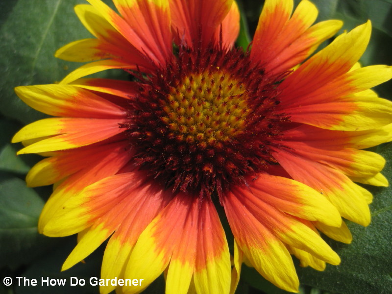 arizona-sun-blanket-flower_1