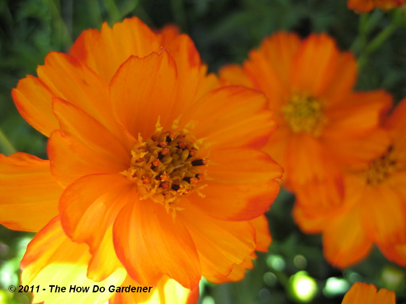Lady Bird Dwarf Orange Cosmos (Cosmos sulphureus)