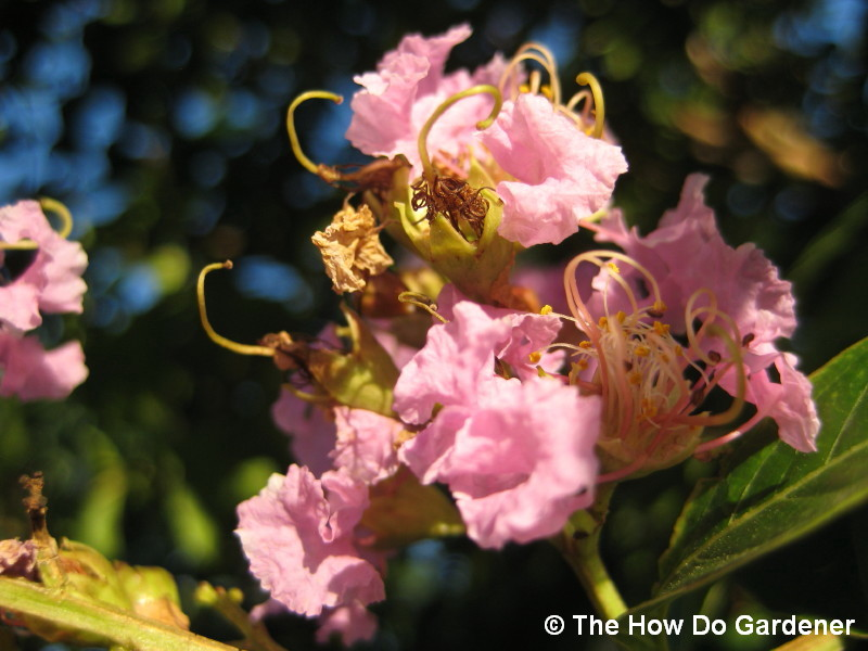 crape-myrtle-flowers-in-morning-sun