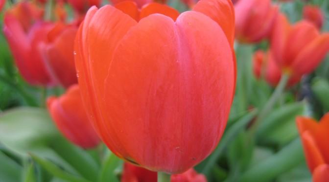 1_Tulip_03