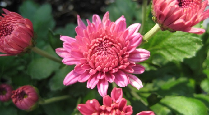 Chrysanthemums – A Fall Classic