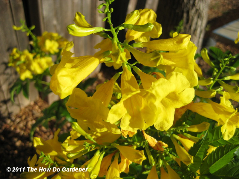 Tecoma stans one look tells you yellow bells the how do gardener bright yellow trumpet shaped flowers that are 3 5 in length these showy blooms are the source of many of the plants common names and attract bees mightylinksfo