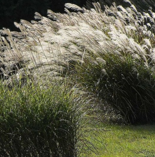 Ornamental grasses adding year round interest to your landscape habit perennial workwithnaturefo