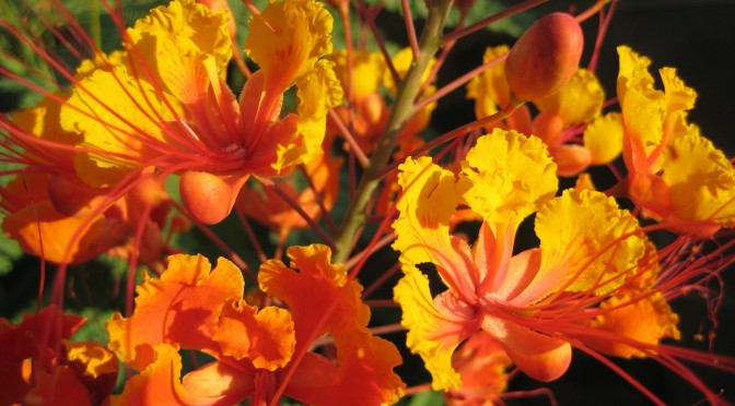 Caesalpinia pulcherrima – Putting on a Show in the Heat