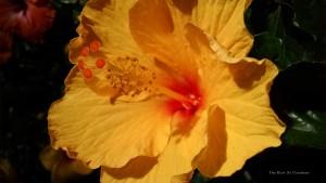 Tahiti Wind Hibiscus