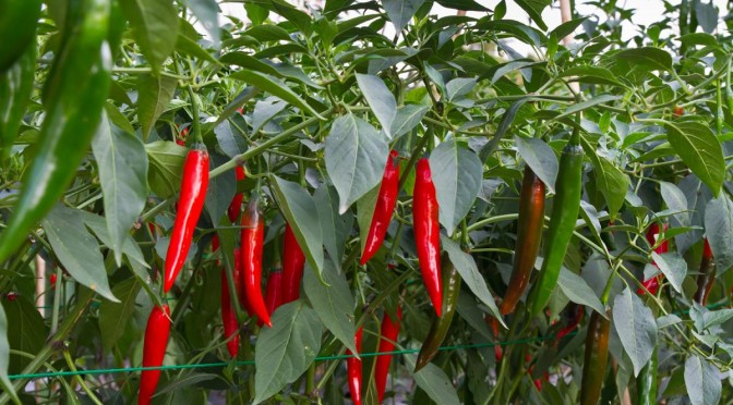The Surprising Health Benefits of Chili Peppers